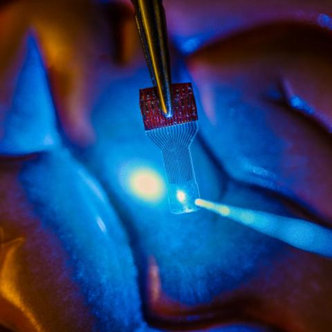A blue light shines through a clear, implantable medical sensor onto a brain model. See-through sensors, which have been developed by a team of UW–Madison engineers, should help neural researchers better view brain activity. Justin Williams research group